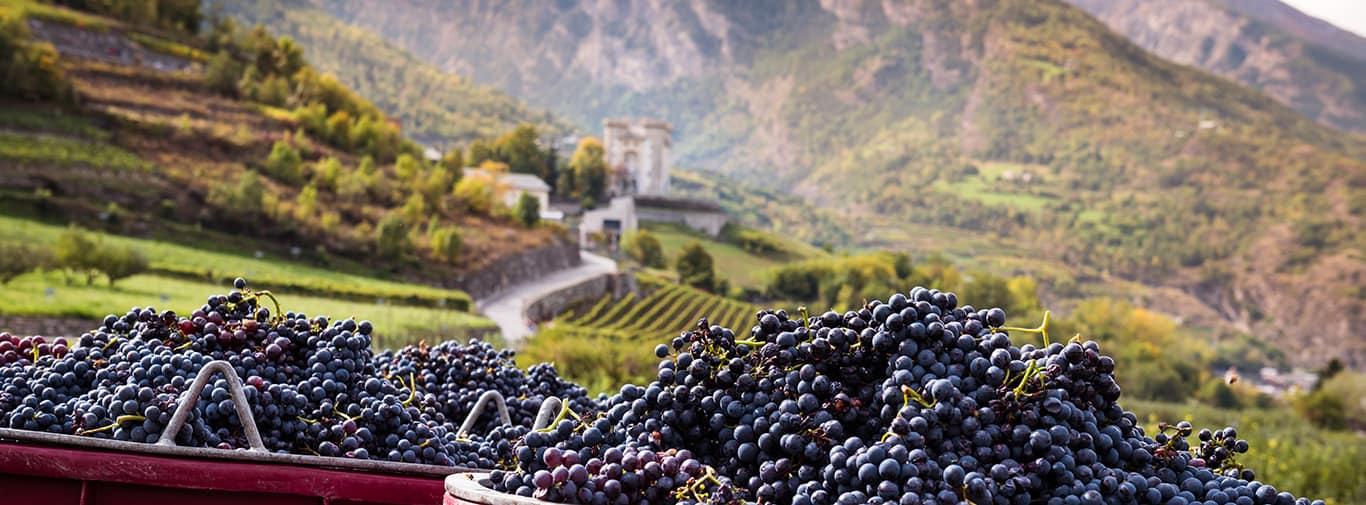 Harvesting Grape in Vineyard