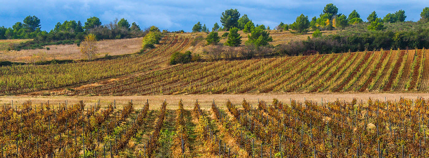 Vineyard in Carcassonne, Southern France