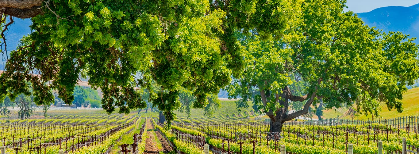 Oak and vineyard in the Santa Ynez Valley Santa Barbara, CA(P)