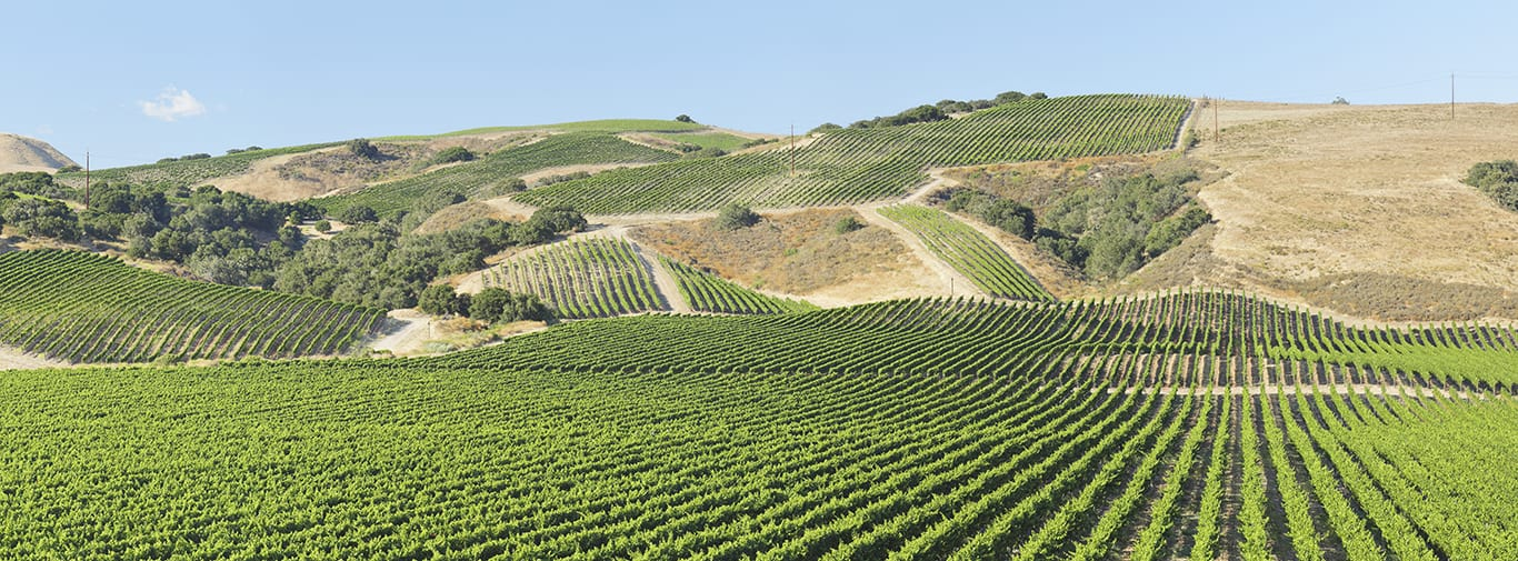 Panoramic Vineyard Landscape - Summer